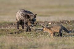 Out foxing a Fox kit. (Melanie Leeson) Tags: httpswwwmelanieleesonphotographycom d850 fox nikon mammals northamericanwildlife d500 canadianwildlife vulpesvulpes melanieleeson britishcolumbiawildlife melanieleesonwildlifephotography 14x foxkit silverfox redfox