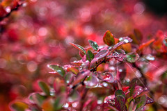 bed of red & web (cheezepleaze) Tags: red web webb bokeh leaves autumn water droplets theseplantsgoredinautumn alltheclicheelements