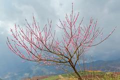 Y0737.0214.Ô Quý Hồ.Bản Khoang.Sapa.Lào Cai (hoanglongphoto) Tags: landscape flower peachblossom tree canon spring vietnam hàgiang phongcảnh mùaxuân hoa hoađào cây asia asian northernvietnam springinvietnam vietnamlandscape vietnamscenery closeups cậncảnh flanksmountain sườnnúi canoneos1dx zeissdistagont3518ze ôquýhồ bảnkhoang sapa làocai sky bầutrời mist sươngmù springinsapa mùaxuânsapa hoađàosapa