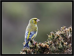 GREENFINCH { m } (PHOTOGRAPHY STARTS WITH P.H.) Tags: greenfinch male nikon d500 300mm 28g ii 17 teleconverter haytor vale devon