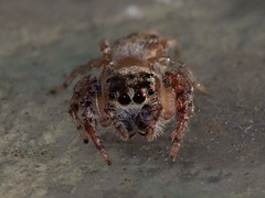 IMG_4786 (Daniel Menzies) Tags: spider macro animal insect arachnid eyes canon80d tamron90mm28 nature wildlife