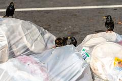 City Scavengers (thoth1618) Tags: bk ny nyc brooklyn newyork newyorkcity fortgreene bird birds garbage refuse trash food scraps starlin starlings city scavenge scavenger