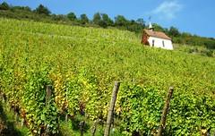 Route des vins, Alsace (afafa02) Tags: route des vins greenery green verdure landscape peisage vignes wine grapes alsace