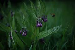 Symphytum officinale (Amselchen) Tags: plants bokeh blur dof depthoffield season sony zeiss carlzeiss sonnart1855 sonnar5518za sonyilce7rm2 fe55mmf18za