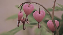 Hearts of a differant color... (jrmcmellen) Tags: smileonsaturday thinkpink62219