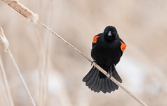 Carouge à épaulettes // Red-winged Blackbird (Keztik) Tags: carouge à épaulettes redwinged blackbird agelaius phoeniceus oiseau bird animal wildlife nature nikon nikond7500 d7500 sherbrooke marais swamp stfrancois realdcarbonneau