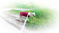 WERA Exotic World FCI (Natalia Julia Nowak) Tags: wera dog pies crested grzywacz pet animal grzywaczchiński grzywaczchinski chińskigrzywacz chinskigrzywacz chinesecresteddog chinesecrested