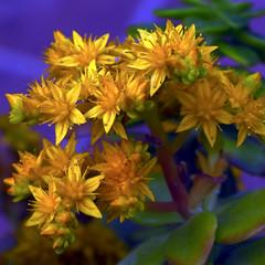 El macro de flors grogues