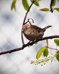 House Sparrow (Female) - IMG_4805 - Edited (406highlander) Tags: housesparrow sparrow passerdomesticus bird animal wildlife avian canoneos6d aberdeen scotland sigma120400mmf4556apodgos branch tree leaf