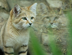 Chat des sables (WiiiKa) Tags: mirror shadow cat chat cute