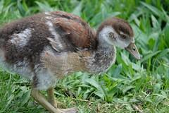 Duck (ec1jack) Tags: kenwood kenwoodhouse englishheritage gardens london england britain uk europe ec1jack kierankelly may 2019 hampstead hampsteadheath heath duck bird ducklin