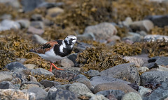 Turnstone-5053116 (seandarcy2) Tags: birds waders wild wildlife sea mull uk turnstone