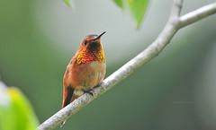 Male Allen's Hummingbird (theviewfinder) Tags: nikon nikon300mmf4 d3s allenshummingbird birds birdphotography california hummingbird sanfrancisco midhun midhunthomas midhunjohnthomas