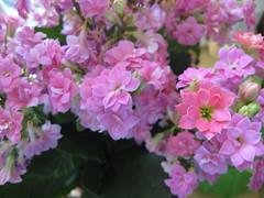 Flammendes Käthchen (✿ Esfira ✿) Tags: blumen flowers flammendeskäthchen flamingkaty kalanchoeblossfeldiana