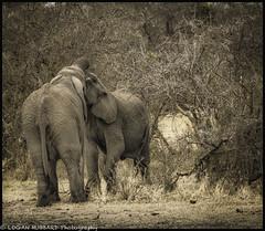 Jousting freshman Elephants (booster90017) Tags: ngo ngcelephants serengeti africa travelphotography