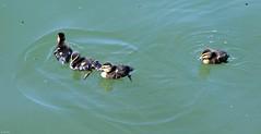 Ducklings (zeesstof) Tags: zeesstof businesstrip timeoff irving texas lascolinas dallassuburbs lake lakecarolyn bird wildbird duck lakesidewalk ducklings mallardduck anasplatyrhynchos