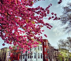 Kwanzan blossoms (ekelly80) Tags: dc washingtondc april2019 spring cherryblossoms kwanzancherryblossoms blossoms flowers pink view rowhouses tree