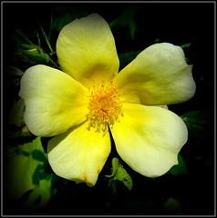 Natural Wonder (dimaruss34) Tags: newyork brooklyn image flower dmitriyfomenko