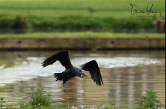 cormorant in flight (Gavin E Young) Tags: cormorant bird flight flying rare canon 5ds