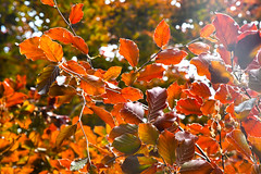 Red Spring (Coquine!) Tags: christianleyk unitedkingdom england greatbritain london foresthill red rot buche beech tree baum spring hornimangarden frühling primavera