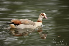 Egyption Goose (Gavin E Young) Tags: goose egyption bird river canon 5ds 400mm 28l mkii