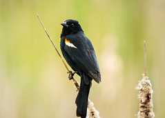 Male Redwing Blackbird (lablue100) Tags: animals birds bird colors redwing redwingblackbird punks plants action nature landscapes beauty
