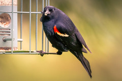 Male Redwing Blackbird at Feeder (lablue100) Tags: male birds bird redwingblackbird feeder seed hungry animals colors wings eyes nature action