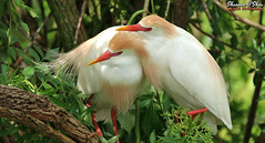 Lean on me (Shannon Rose O'Shea) Tags: shannonroseoshea shannonosheawildlifephotography shannonoshea shannon cattleegret egret bird birds two candycornbeak outdoors outdoor outside colorful colourful alligatorbreedingmarshandwadingbirdrookery gatorland orlando florida gatorlandbirdrookery rookery breedingplumage lores beak trees branches leaves nature wildlife waterfowl leanonme flickr wwwflickrcomphotosshannonroseoshea smugmug camera femalephotographer girlphotographer womanphotographer shootlikeagirl shootwithacamera throughherlens birdphotographer naturephotographer bubulcusibis art photo photography photograph wild wildlifephotography wildlifephotographer wildlifephotograph closeup close white feathers wings canon canoneos80d canon80d canon100400mm14556lisiiusm eos80d eos 80d 80dbird canon80d100400mmusmii 2019