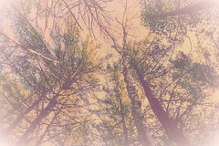 Trees (mrsparr) Tags: trees forest algonquin lowpov