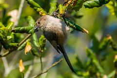 Hang In There! (Daren Grilley) Tags: passerculus sandwichensis beldingi birds santa barbara nikon d850 200500