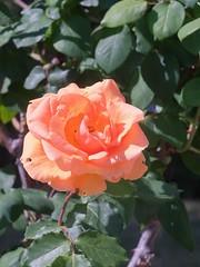 orange day (Riex) Tags: orange rose flower fleur petals petales nature fujifilm xh1 xmount metabones speedbooster adapter fujix m42 screwmount pentaxmount cosina cosinon 135mm