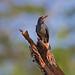 Red-legged thrush (Turdus plumbeus) - Holguín Province, Cuba - Feb 2019