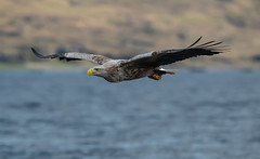 Sea Eagle-8507001 (seandarcy2) Tags: birds wild bif raptors wildlife eagles seaeagle whitetailedeagle birdsofprey