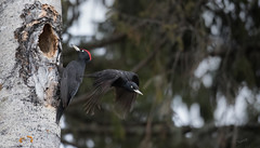 So long! (MatsOnni) Tags: mattisaranpää palokärki dryocopusmartius blackwoodpecker birrds woodpeckers linnut tikat