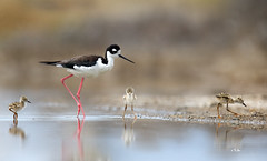 Happy Mother's Day! (Thy Photography) Tags: bird sunshine sunrise sanfranciscobayarea sunset photography outdoor nature animal backyard wildlife blackneckedstilt happymother'sday happymother'sdays