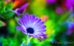 Approaching the Light (frederic.gombert) Tags: flower flowers light color blue pink daisy colors green sunlight bloom blossom soft macro nikon