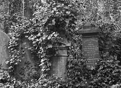 Over taken by the ivy (IanAWood) Tags: abneyparkcemetery bringoutyourdead cemeteryclub cemeteryparks citiesofthedead friendsofabneypark headstonehunting lbofhackney londonscemeteries londonsdead londonsgraveyards londonsmagnificent7victoriancemeteries londonsvictorianvalhalla nikkorafs58mmf14g nikondf stokenewington taphophile walkingamongthedead walkingwithmynikon