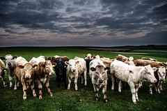 When you go out with out your wife but she comes any way with her friends (Trigger1980) Tags: nikon nikond7000 nite night national trust d7000 dark digital day west sky sussex england east exposure cow cows clouds ditchling beacon 7000 farm farming