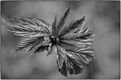 Imagination is more important than knowledge (ahmBerlin) Tags: monochrome bw sw schwarzweiss pflanze plant blätter leaves nature natur spring frühling canon