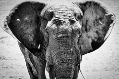 Dumbo Wild Portrait (orkomedix) Tags: canon elephant portrait bw south africa addo addoelephantpark