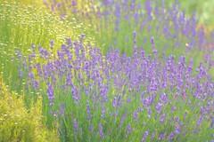 Digital Watercolor - Spring flowers - HSS (randyherring) Tags: sanjose ca