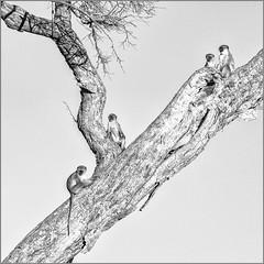 Four monkeys (Eva Haertel) Tags: eva haertel canon5dmarkiii natur nature outdoor baum tree ast branch trocken dry tier animal affe monkey vier four schwarzweis sw blackandwhite bw afrika africa botswana