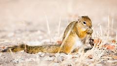 Tree Squirrel (Jennie Stock) Tags: paraxeruscepapi treesquirrel etosha halalicamp smithsbushsquirrel