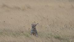 Watching us from a safe distance (Nanooki) Tags: animals chile patagonia southamerica torresdelpainenationalpark unesco unescoworldheritagesite ©suelambertlrpscpagb wildlife nature southamericangrayfox fox animal argentina greyfox