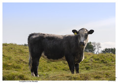 Youngsters on the Mendips in Explore No 64 (Trevor Watts Photography) Tags: mendips mendiphills somerset gb uk england southwestengland thesouthwest walk hills may 2019 spring sunshine nikon d7200 dslr © trevorwatts stock cattle cow calf