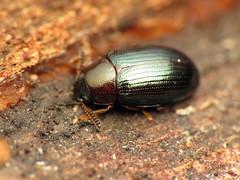 Two-horned Darkling Beetle (treegrow) Tags: rockcreekpark washingtondc nature lifeonearth raynoxdcr250 arthropoda insect beetle coleoptera tenebrionidae neomidabicornis