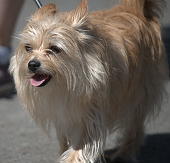 Hairy Harry (Scott 97006) Tags: dog petite small canine anmal pet walk