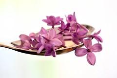Spoonful of Lilac Petals (helensaarinen) Tags: macromondays spoonful macro purple floral springtime lilac tablespoon petals