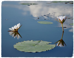 Reflections on a Channel (The Spirit of the World ( On and Off)) Tags: lily waterlily lilies water pods reflections clouds nature botswana macro africa boatride canoe makoro peaceful canoeride southernafrica abstract art bluehour