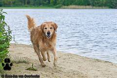 _KJM6250_20190512_145918 (KJvO) Tags: dog goldenretriever hilgelo hond siep water animal dier